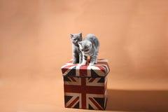 Gatinhos britânicos de Shorthair Fotos de Stock