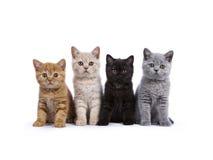 Gatinhos britânicos do shorthair no branco Fotografia de Stock