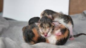 Gatinhos cegos com olhos fechados os gatos bonitos são encontrar-se adormecido do gatinho bonito da tri cor do estilo de vida ani vídeos de arquivo