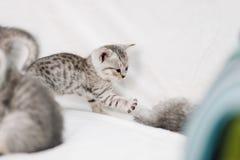 Gatinhos cinzentos que jogam em um sofá branco imagens de stock royalty free