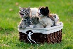 Gatinhos com fome que miam e que pedem para comer, sentando-se em uma cesta de madeira Fotografia de Stock