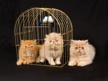 Gatinhos consideravelmente persas bonitos com birdcage Fotos de Stock Royalty Free