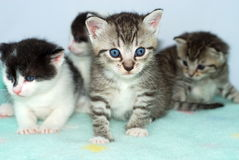 Gatinhos curiosos Fotografia de Stock Royalty Free
