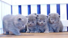 Gatinhos de Ingleses Shorthair perto de uma cerca de madeira filme