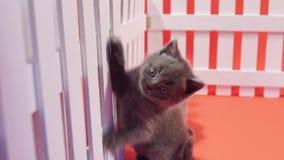 Gatinhos de Ingleses Shorthair que escalam em uma cerca video estoque