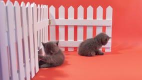 Gatinhos de Ingleses Shorthair que escalam em uma cerca filme