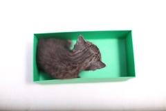 Gatinhos de Ingleses Shorthair que jogam em uma caixa Fotos de Stock Royalty Free