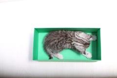 Gatinhos de Ingleses Shorthair que jogam em uma caixa Foto de Stock