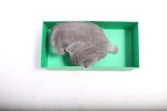 Gatinhos de Ingleses Shorthair que jogam em uma caixa Imagem de Stock