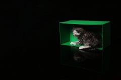 Gatinhos de Ingleses Shorthair que jogam em uma caixa Fotografia de Stock Royalty Free