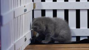 Gatinhos de Ingleses Shorthair que jogam perto de uma cerca vídeos de arquivo