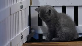 Gatinhos de Ingleses Shorthair que jogam perto de uma cerca filme