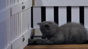 Gatinhos de Ingleses Shorthair que jogam perto de uma cerca video estoque