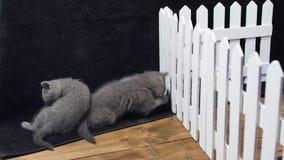 Gatinhos de Ingleses Shorthair que lutam perto de uma cerca filme