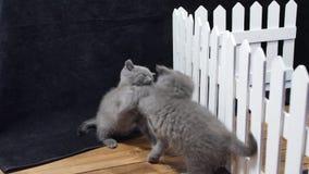 Gatinhos de Ingleses Shorthair que lutam perto de uma cerca vídeos de arquivo