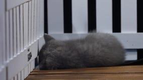 Gatinhos de Ingleses Shorthair que lutam perto de uma cerca video estoque