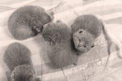 Gatinhos de Ingleses Shorthair que olham acima Fotos de Stock