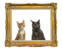 Gatinhos de Maine Coon que sentam-se atrás de um quadro dourado do vintage Fotografia de Stock Royalty Free