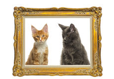 Gatinhos de Maine Coon que sentam-se atrás de um quadro dourado do vintage Fotografia de Stock