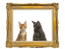 Gatinhos de Maine Coon que sentam-se atrás de um quadro dourado do vintage Imagens de Stock Royalty Free