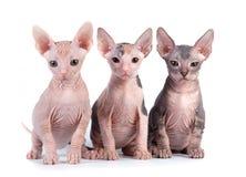 Gatinhos de Sphynx Fotografia de Stock Royalty Free