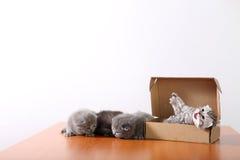 Gatinhos do bebê em uma caixa de cartão Imagens de Stock