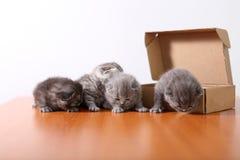 Gatinhos do bebê em uma caixa de cartão Fotos de Stock Royalty Free