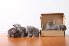 Gatinhos do bebê em uma caixa de cartão Foto de Stock