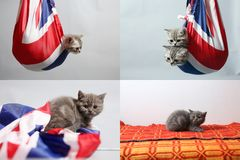 Gatinhos do bebê que jogam com uma bandeira de Grâ Bretanha, multicam fotografia de stock