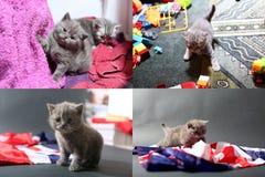 Gatinhos do bebê que jogam no tapete e com bandeira de Grâ Bretanha, multicam fotos de stock