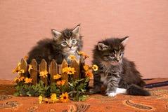 Gatinhos do Coon de Maine com as flores da caixa e da margarida Imagem de Stock Royalty Free