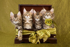 Gatinhos do Coon de Maine na caixa de madeira Imagens de Stock Royalty Free