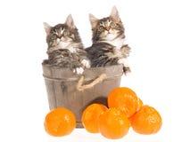 Gatinhos do Coon de Maine na cuba com fruta Fotografia de Stock