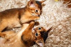 Gatinhos do gato Abyssinian que encontram-se em uma cobertura da pele Foto de Stock Royalty Free