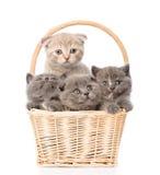 Gatinhos do grupo na cesta que olha a câmera Isolado no branco Fotografia de Stock Royalty Free