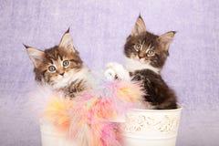 Gatinhos do racum de Maine Foto de Stock Royalty Free