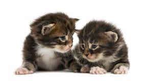 Gatinhos do racum de Maine que interagem Fotos de Stock Royalty Free