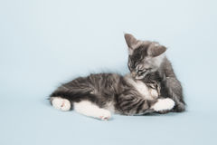Gatinhos do racum de Maine que lavam-se Foto de Stock