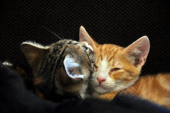 Gatinhos do sono Imagem de Stock Royalty Free