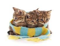 Gatinhos em um lenço fotografia de stock royalty free