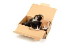 Gatinhos em uma caixa Fotografia de Stock