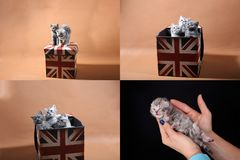Gatinhos em uma caixa da bandeira de Union Jack, multicam, grade 2x2 Imagens de Stock Royalty Free