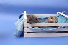 Gatinhos em uma caixa de madeira Foto de Stock Royalty Free