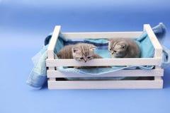 Gatinhos em uma caixa de madeira Fotografia de Stock Royalty Free