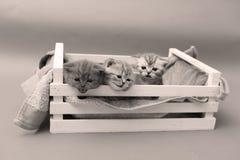 Gatinhos em uma caixa de madeira Fotografia de Stock