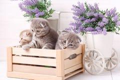 Gatinhos em uma caixa de madeira Flores da alfazema no fundo Imagem de Stock Royalty Free