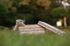 Gatinhos em uma caixa de presente na grama, retrato de Ingleses Shorthair Fotografia de Stock