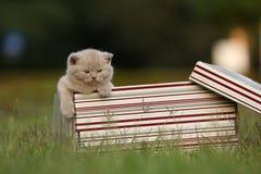 Gatinhos em uma caixa de presente na grama, retrato de Ingleses Shorthair Fotografia de Stock Royalty Free