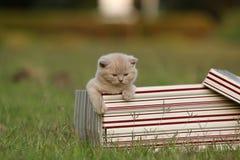Gatinhos em uma caixa de presente na grama, retrato de Ingleses Shorthair Foto de Stock