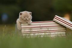 Gatinhos em uma caixa de presente na grama, retrato de Ingleses Shorthair Imagem de Stock Royalty Free